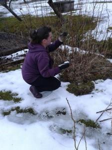 Osuuskuntamme jäsen Johanna on vanha konkari, keväällä ammattilainen huomaa hyvin mitkä oksat pitää poistaa.